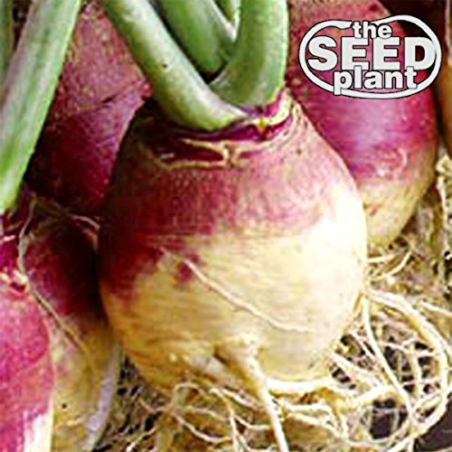 - American Purple Top Rutabaga Turnip Seeds - 1000 Seeds NON-GMO