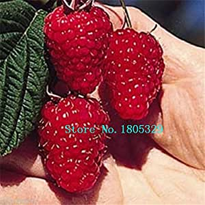 200PCS Pure RED Rubus Raspberries seeds Antioxidant Seeds Bush Fruits seeds Plant Free Shipping