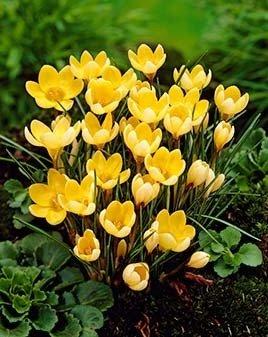 1000 duftende Wild - Krokusse BlumenzwiebelnRomance Gr. 5/7, ideal für Bienenfreunde,Gelb ideal für Bienenfreunde Krull Pflanzenhandel