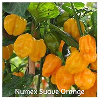 Organic Hybrid Numex Suave Hot Pepper Seeds 10 Plus by BluSeeds : Garden & Outdoor