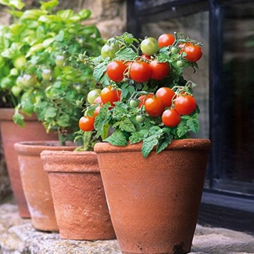 25 PATIO BUSH TOMATO Seeds 5 oz Fruits Plant Garden Hanging Baskets by Iniloplant