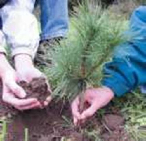 White Pine seedlings Qty15 Naturally sprouted, Rooted Starters, 10