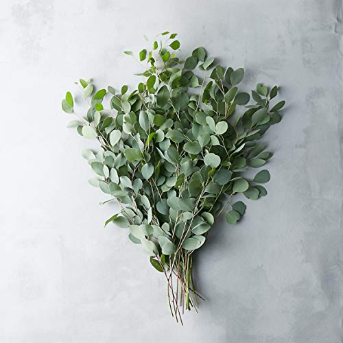 FRESH CUT EUCALYPTUS Silver Dollar - Greens Foliage - Wedding DIY Bulk Event Flowers (10 Bunches (90-100 stems))
