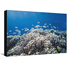 School of Sergeant Major Fish over Pristine Coral Reef, Jackson Reef, Off Sharm El Sheikh, Egypt Stretched Canvas Print by Mark Doherty - 24 x 16 in