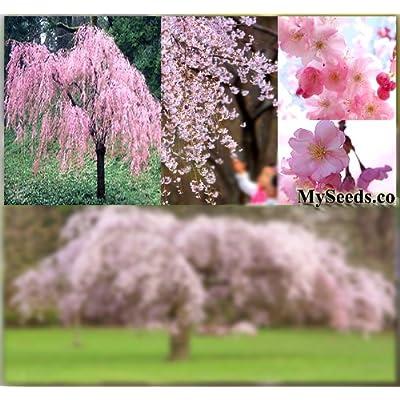 Japanese Weeping Cherry Tree Seed - Prunus subhirtella pendula Seeds - Weeping Variety from Japan - by MySeeds.Co (Weeping Cherry x 1 Pack) : Garden & Outdoor