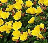 50 Seeds Oenothera Sundrops Fruticosa Youngii Perennial