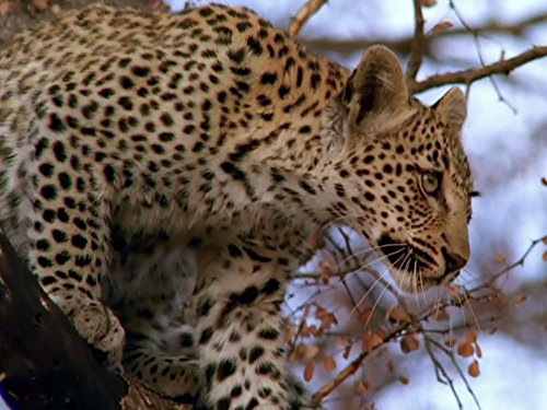 Leopards, Wild Boars, Pistol Shrimp