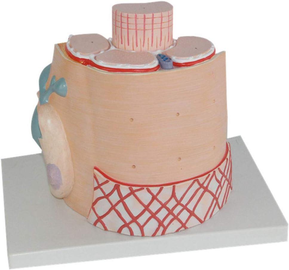 Modelo de Aumento de Fibra Muscular Esquelética, Mostrar La ...
