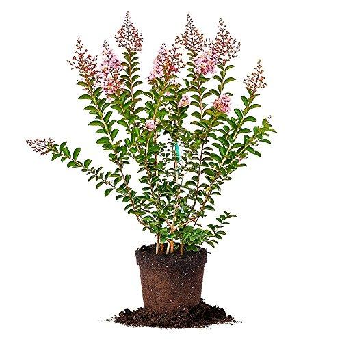 Sioux Crape Myrtle - Size: 4-5', Live Plant, Includes Special Blend Fertilizer & Planting Guide by PERFECT PLANTS (Image #10)