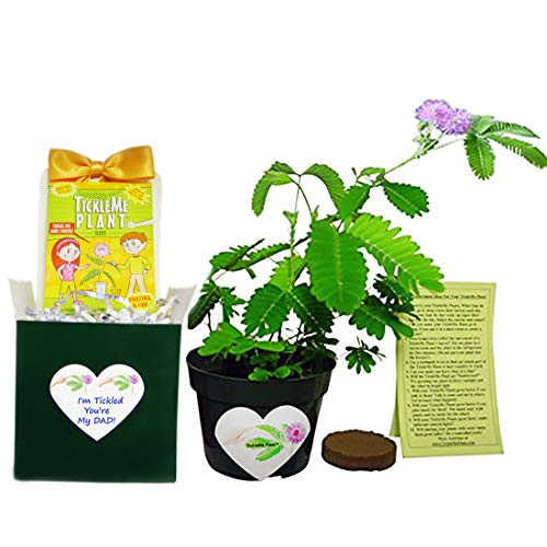 TickleMe Plant Birthday for Dad Indoor Gardening Kit - He Will Love Watching The Leaves Close When Tickled! for The Dad That Has Everything! ()