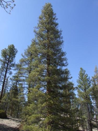 Lodgepole Pine. 200 seeds. trees, seeds (Lodgepole Pine Furniture)