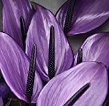Mr.seeds 100 / bag flower seeds, purple anthurium A. Ndraeanu seeds balcony flower seeds for home gardening DIY.