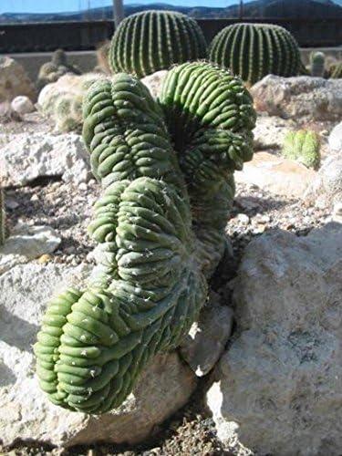 Very Rare Lophocereus Schottii Forma Cristata Unusual Cactus 10 Seeds *