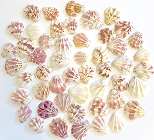 Goldenvalueable Thick Scallops - Bag of Approx. 50 Seashells (Scallop Small Shell)