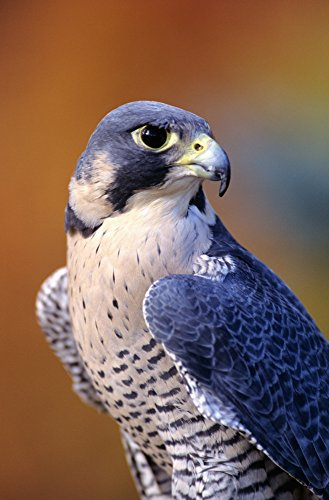 Close up of adult male Peregrine Falcon Poster Print