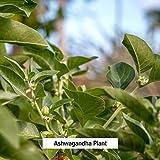Banyan Botanicals Organic Ashwagandha Extract
