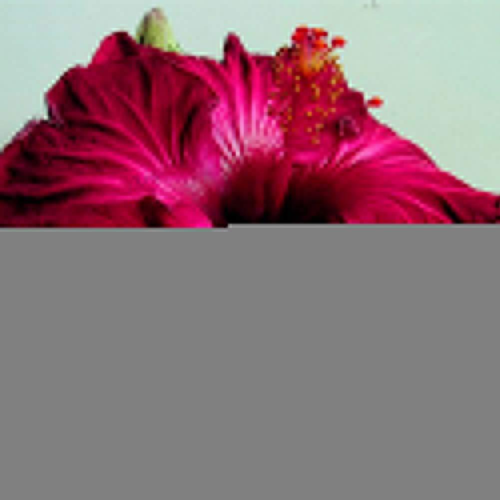 Catkoo Semi,300Pcs Miscelazione Colore Semi di Ibisco Gigante Pianta Bonsai Giardino Fiorito Decor,Adatto a Balcone,Soggiorno,del Giardino,Decorazione Natalizia 300pcs Hibiscus Seeds