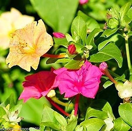 Wunderblume 10 Samen mirabilis