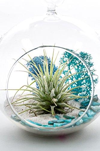 "Air Plant Terrarium Kit | Aqua Crunch | Natural Accents Series | Complete Tillandsia Gift Set | 4"" Glass Globe | Nautical Crush Trading TM"