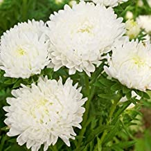 30 DUCHESS WHITE PAEONY ASTER French Peony Callistephus Flower Seeds *Comb S/H