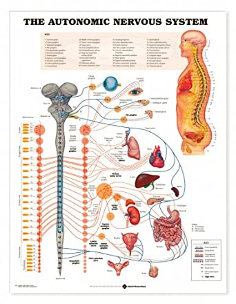 Autonomic Nervous System Anatomical Chart Paper Unmounted-8026PU ...