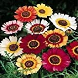 Outsidepride Chrysanthemum Rainbow Mix - 1000 Seeds