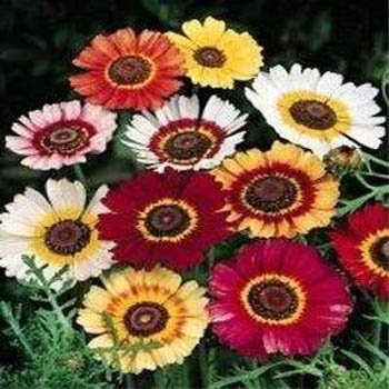 Outsidepride chrysanthemum rainbow mix 2000 seeds