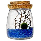 Product review for Marimo Moss Ball in Glass Jar by Luffy: Includes Gorgeous Green Marimo, Sea Fan and Beautiful Blue Pebbles - Meaningful Gift - Symbol of Love & Low maintenance - Adds serenity to your home corners