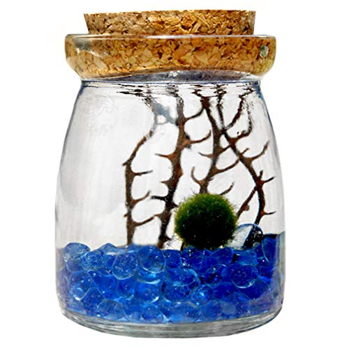 Marimo Moss Ball in Glass Jar by Luffy, Includes Gorgeous Green Marimo, Sea Fan and Beautiful Blue Pebbles, Meaningful Gift, Symbol of Love & Low Maintenance, Adds Serenity to Your Home Corners