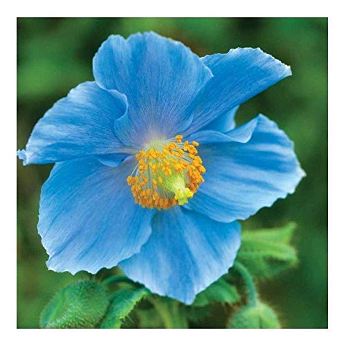 Potseed Himalayan Blue Poppy - 50 Seeds - MECONOPSIS BETONICIFOLIA ()