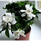 50 Pcs / Bag,gardenia Seeds, Flower Seeds, Diy Potted Plants, Indoor / Outdoor Pot Seed Germination Rate of 95% Mixed Colours