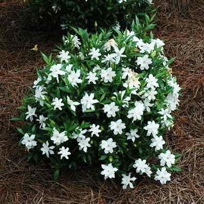 brighter-blooms-dwarf-radicans-gardenia-live-potted-plant-fragrant-flowering-dwarf-shrub-with-citrus