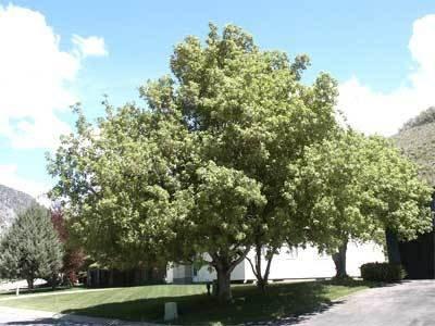 Amazoncom 50 Boxelder Maple Tree Seeds Acer Negundo Garden