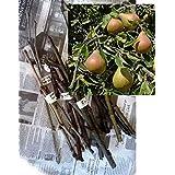 Plentree Seeds Package: 4X Scions: 4 Wood Scion Sticks Seeds Pear Tree Pyrus Communis Prunus Cuttings Bud Grafting