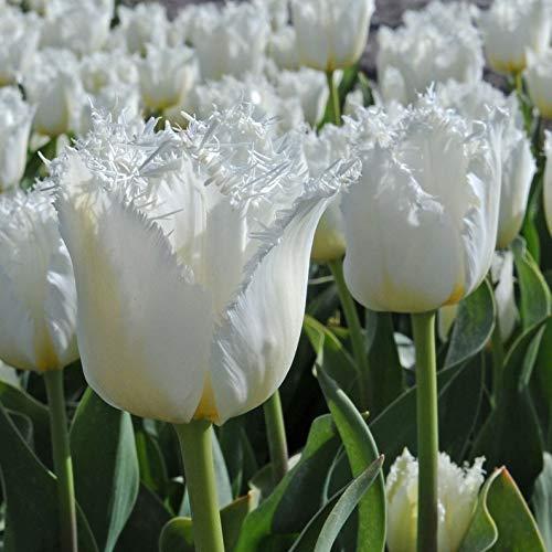 - Tulip North Pole (Bulbs),Beautiful White Fringed Tulips. Fall Planting Bulbs! (5 Bulbs) by BasqueStore