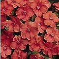 Impatiens Flower Garden Seeds - F1 Dazzler Series - 500 Seeds - Annual Flower Gardening Seeds - Impatiens wallerana