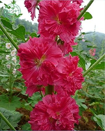 Red Malve Samen selten Bonsai Althaea rosea Samen von Blumen ...