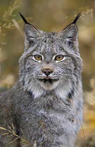 Posterazzi Tk0568 Thomas Kitchin Autumn. Rocky Mountains. North America. Felis Lynx Canadensis. Poster Print (11 x ()