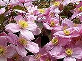 Clematis Montana Rubens Mountain Clematis 20 Seeds Pink Flowers Climber ukfreep