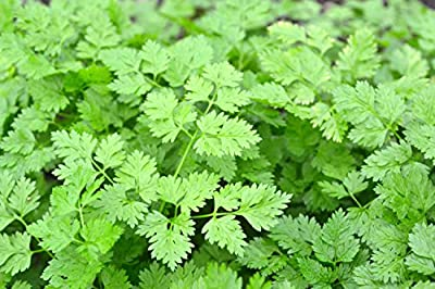French Parsley Winter Chervil Herb Seeds Non-GMO (Variety Size Available)