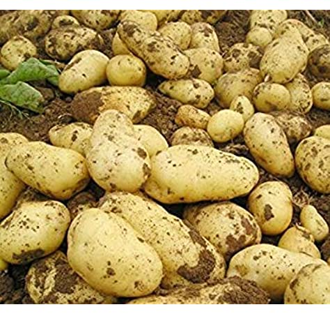 MOZART Excellent Table Quality Potato ORGANIC 6 Tubers Potato Seed