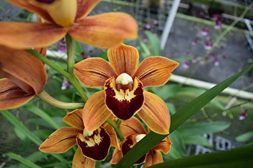 Cymbidium Enzan Shining 'Royal Flame' Warm Growing! Fragrant! Blooming size