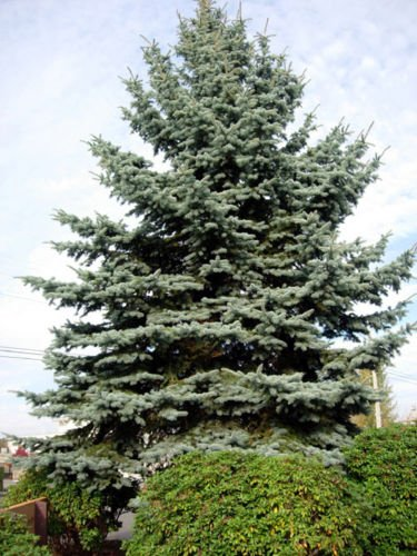 Sitka Spruce, picea sitchensis 200 seeds. trees, seeds ()