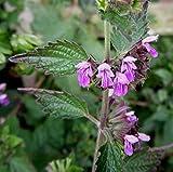 ballota nigra-Black Horehound-Mint Family-Pink flowers-20 Fresh Seeds