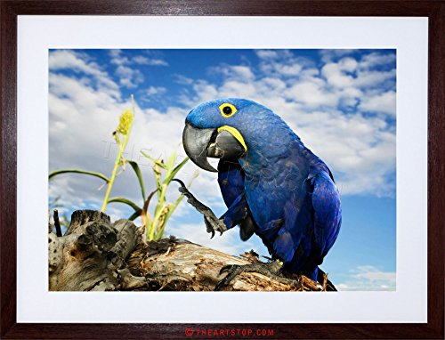 (Wee Blue Coo The Art Stop Photo Hyacinth Macaw Parrot Bird Framed Print F97X3684 )