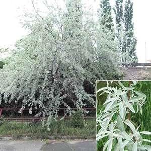 Russian olive tree elaeagnus angustifolia 10 for Olive plant care