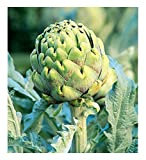 David's Garden Seeds Artichoke Green Globe SL6691 (Green) 50 Non-GMO, Heirloom Seeds