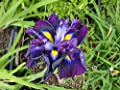 Iris Purple Selection, Iris Ensata, Japanese Iris, Purple and Yellow, Bare Root