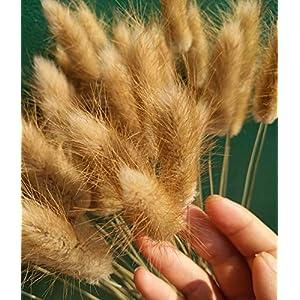 """50 Pcs Natural Dried Small Pampas Grass, Phragmites Communis, Foxtail Grass, Rabbit Dog Tail Grass, Dry Bouquet, Wedding Flower Bunch, 14""""-17"""" Tall Home Décor 2"""