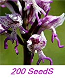 (O&men200 By Ambizu) 100+100 Seeds/lot Orchis Italica, Also Known As: Italian Men Orchid, Pyramid Monkey Orchid, Orchid Testes (O&Men 696)